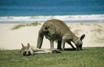 kangaroo-246777_960_720.jpg